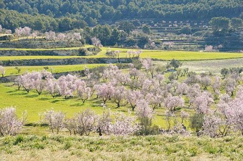 アーモンドの花と木